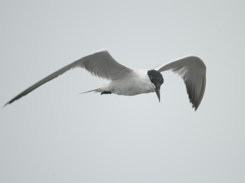 Gull-billed Tern Changhua Coast Conservation Action (TWSG)