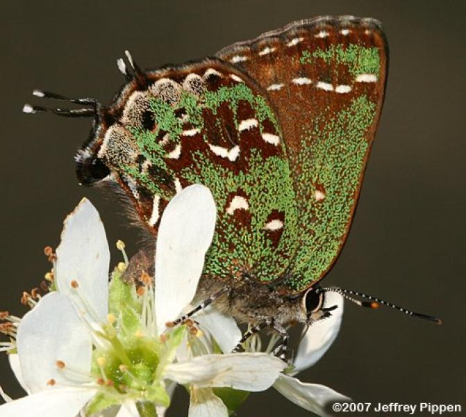 Hessel's Hairstreak Jeffrey Pippen
