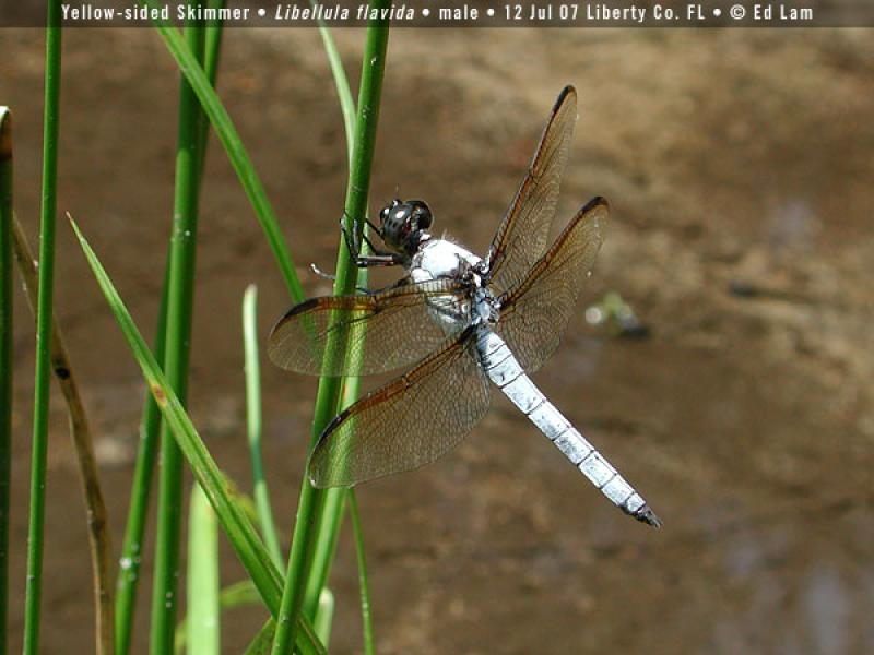 Yellow-sided Skimmer Ed Lam