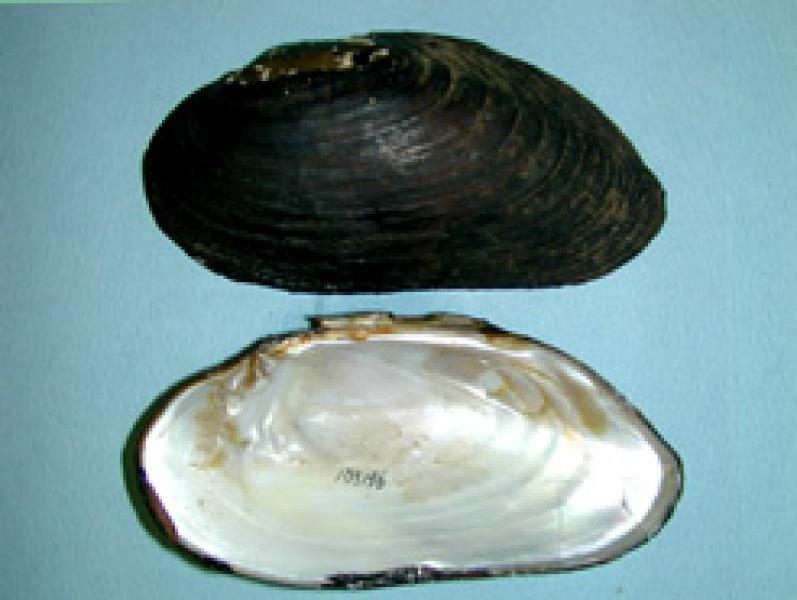 Eastern Pearlshell AMNH