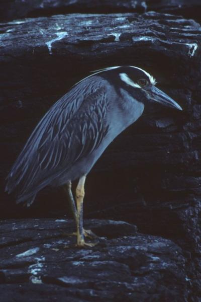 Yellow-crowned Night-heron Dick Cannings
