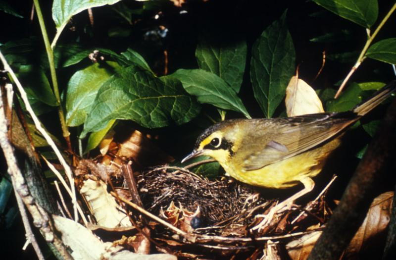 Kentucky Warbler U.S. Fish and Wildlife Service
