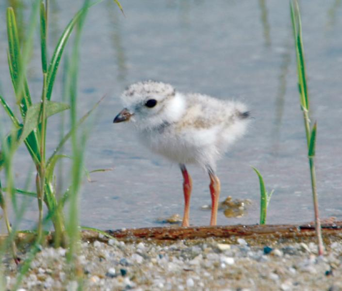 Piping Plover (Charadrius melodus)