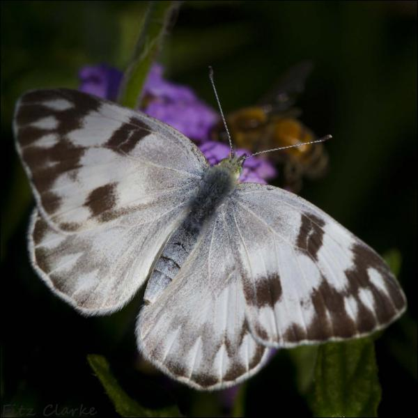 Pontia protodice- Checkered White (female) Fitz Clarke