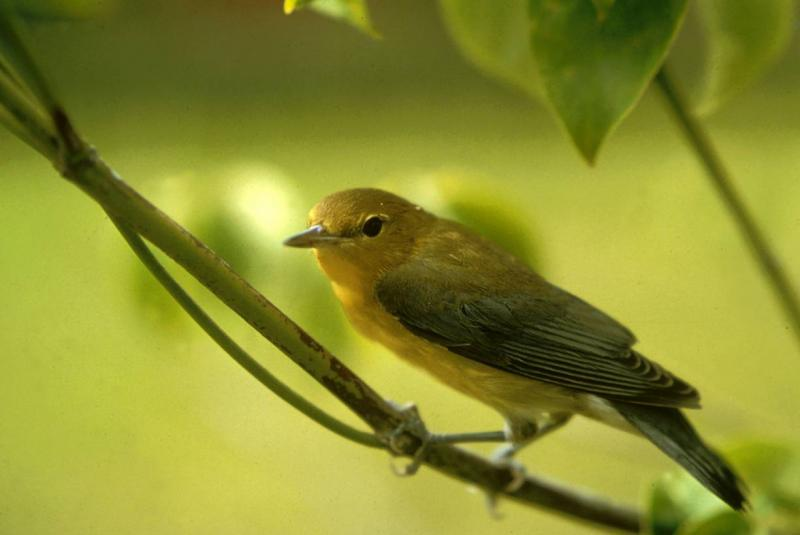 Prothonotary Warbler Nell Baldaccino