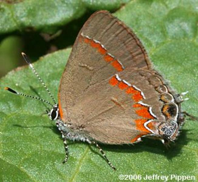 Red-banded Hairstreak (Calycopis cecrops) Jeffrey Pippen