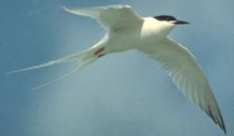 Roseate Tern U.S. Fish and Wildlife Service