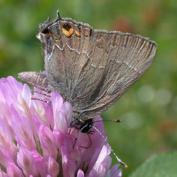 Oak Hairstreak Erik Nielson
