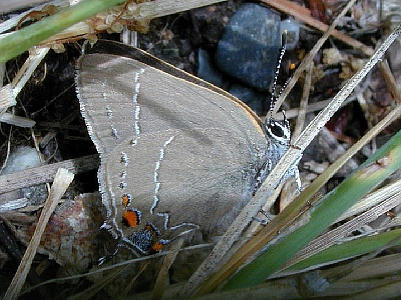Oak Hairstreak Steve Walter
