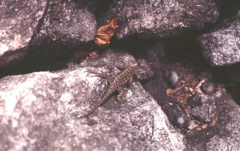 Fence Lizard (female) Jesse W. Jaycox