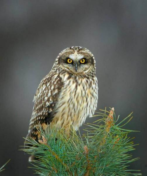 Short-eared owl (Asio flammeus) A.J. Hand