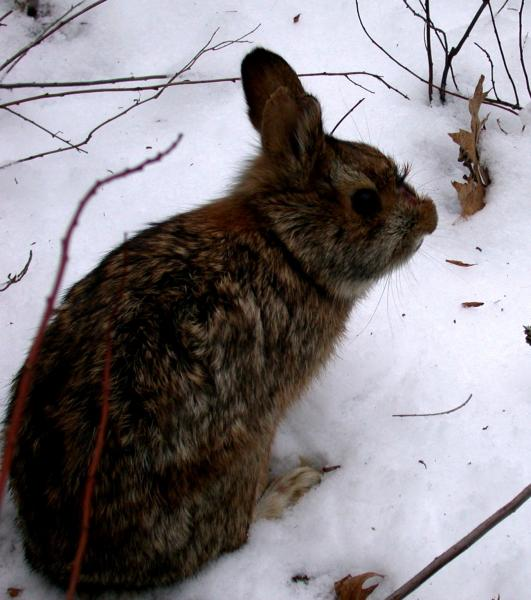 New England cottontail Michael N. Marchand