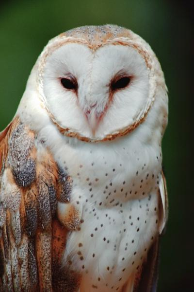 Barn Owl US DOI-Bureau of Reclamation