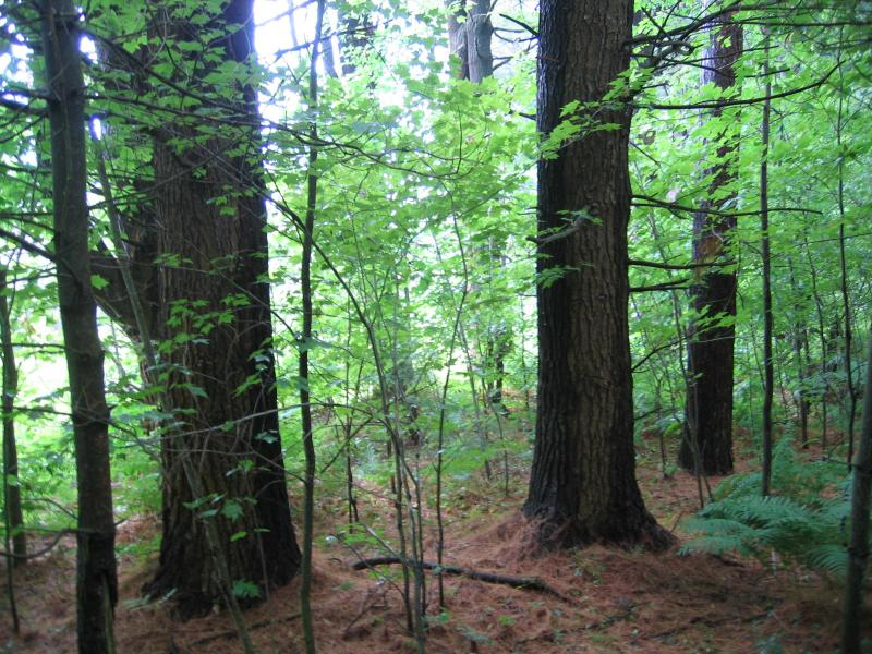 Pine-northern hardwood forest in Fort Drum Training Area 11A Gregory J. Edinger