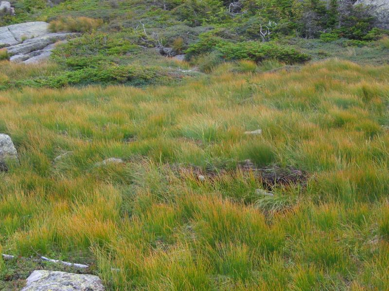 Trichophorum cespitosum ssp. cespitosum in Alpine meadow Tim Howard