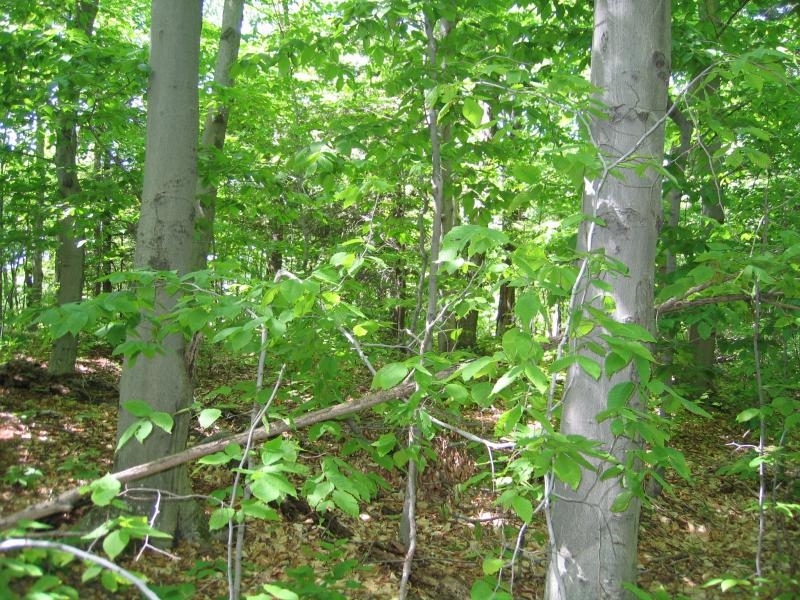 Beech-maple mesic forest at Putnam Mountain in Washington County Gregory J. Edinger