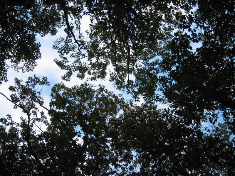 Coastal oak-hickory forest canopy shot. Gregory J. Edinger