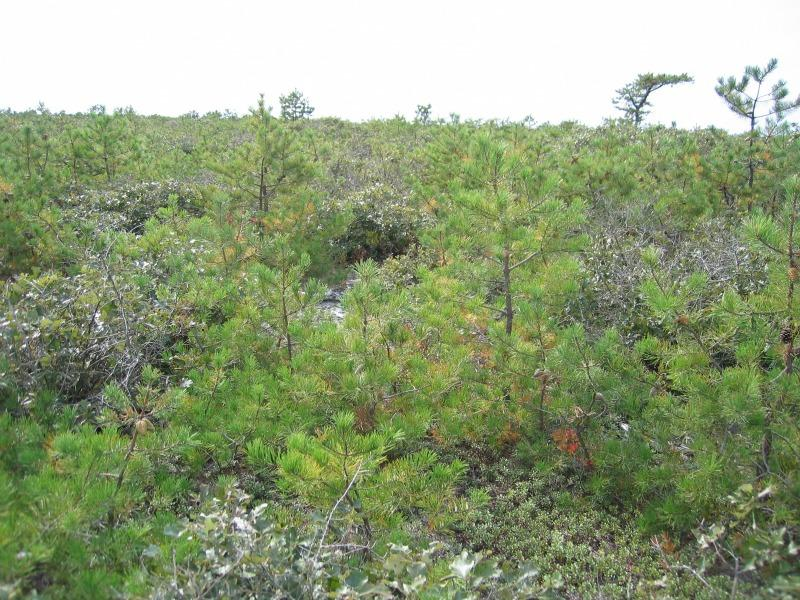 Dwarf pine plains in the Long Island Central Pine Barrens Gregory J. Edinger