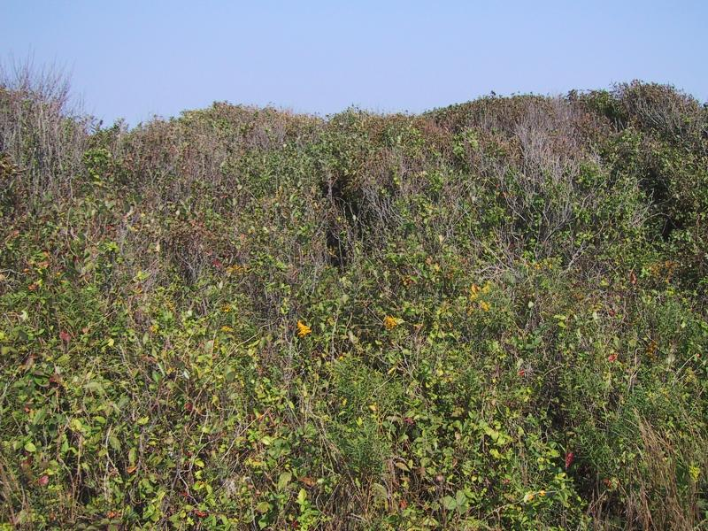 Maritime shrubland pruned by wind and salt spray Aissa L. Feldmann