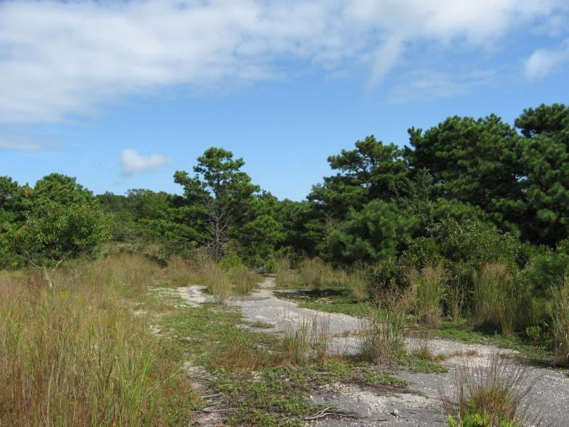 Natural communities take over the abandoned paved area at Cherry Point in Napeague State Park Julie A. Lundgren
