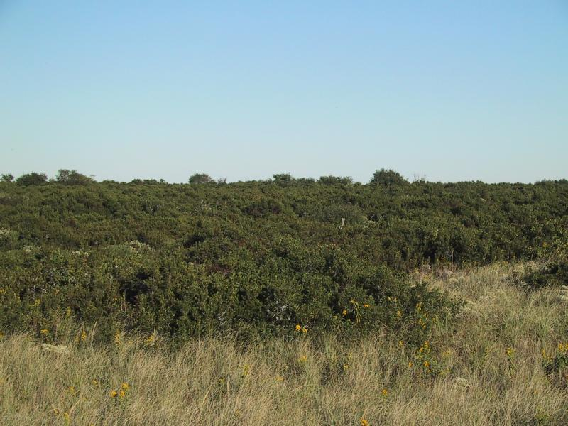 Maritime shrubland at Breezy Point, Gateway National Recreation Area Aissa L. Feldmann