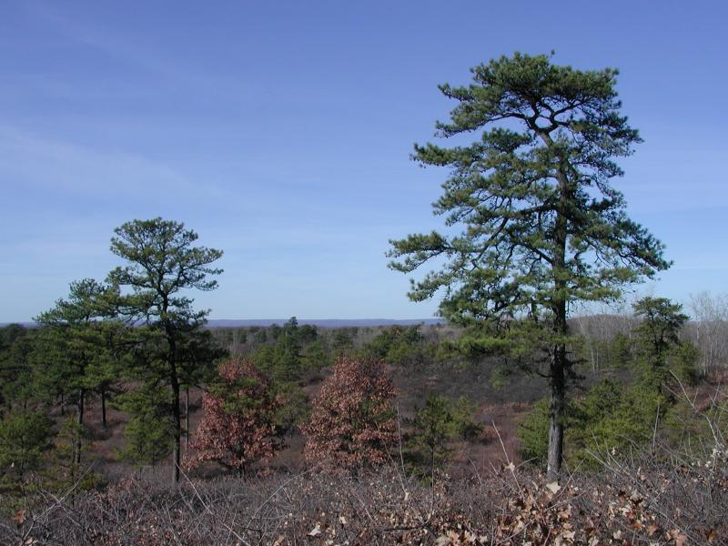 Pitch Pine-Scrub Oak Barren Stephen M. Young