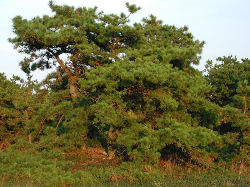 Maritime pitch pine dune woodland Stephen M. Young