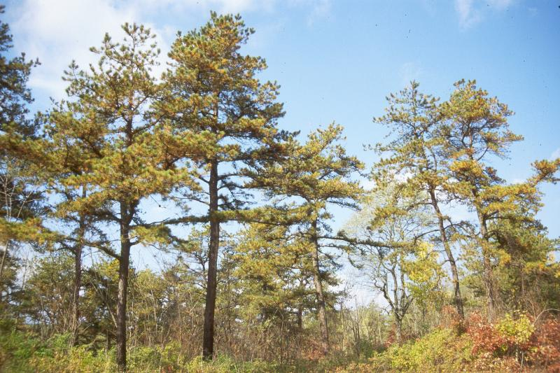 Pitch Pine Scrub Oak Barrens Stephen M. Young