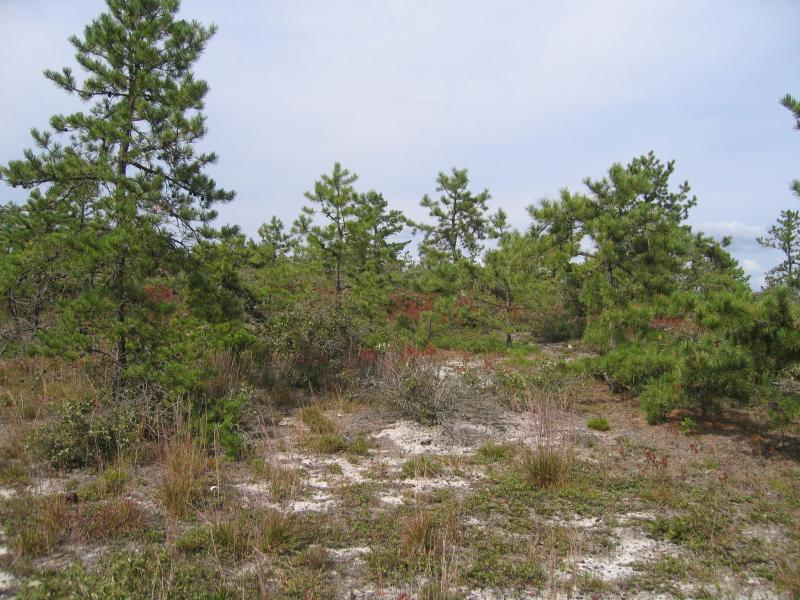Pitch pine-oak-heath woodland in the Long Island Central Pine Barrens Gregory J. Edinger