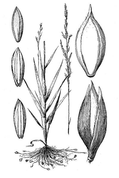 Amphicarpum purshii illustration USDA Plants USDA Plants website