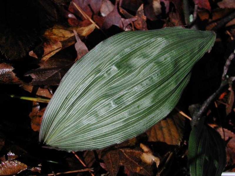 Aplectrum hyemale leaf Stephen M. Young