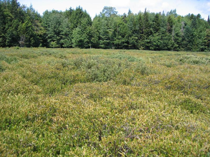 Dwarf shrub bog at Niffen Vly Gregory J. Edinger