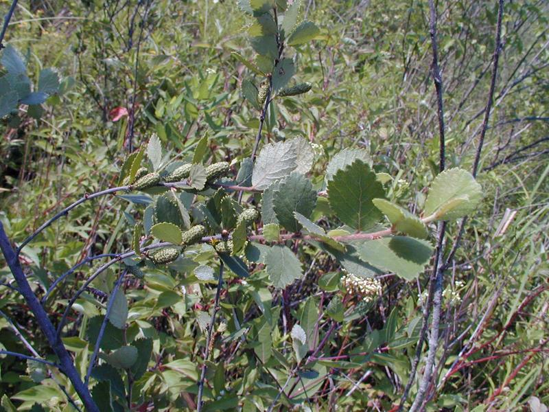 Betula pumila, Rich shrub fen Troy Weldy