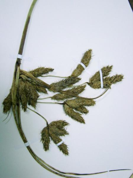 Bolboschoenus novae-angliae spikelets Stephen M. Young