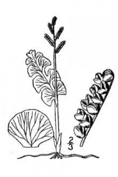 Botrychium lunaria Britton, N.L., and A. Brown (1913); downloaded from USDA-Plants Database.