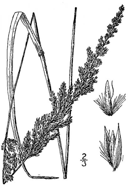 Calamagrostis perplexa line drawing A.S. Chase