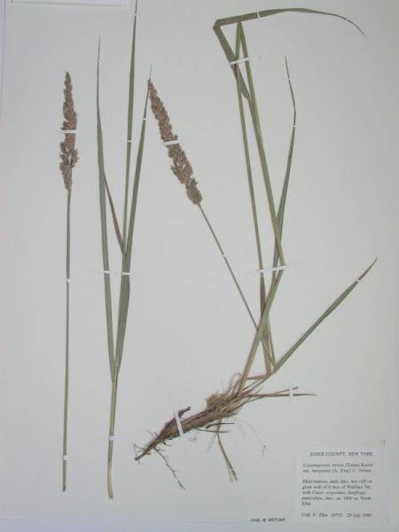 Calamagrostis stricta specimen at the New York State Museum herbarium. Stephen M. Young