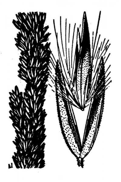 Line drawing  of Agrostis mertensii from Hitchcock, A.S. (rev. A. Chase). 1950. Manual of the grasses of the United States. USDA Miscellaneous Publication No. 200. Washington, DC. 1950 A.S. Hitchcock