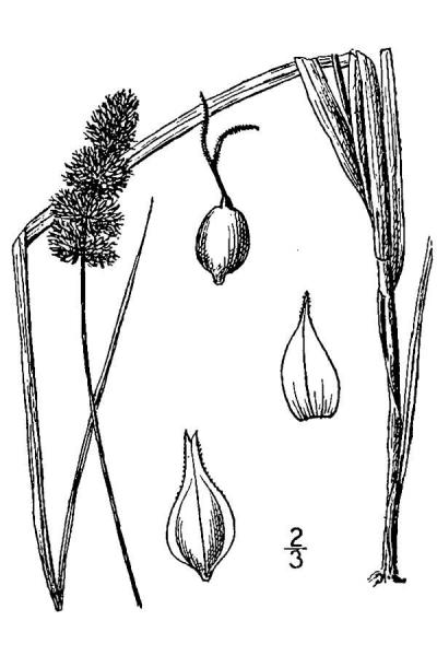 Carex aggregata line drawing Britton, N.L., and A. Brown (1913); downloaded from USDA-Plants Database.