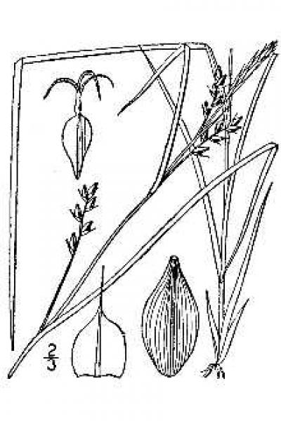 Carex amphibola line drawing Britton, N.L., and A. Brown (1913); downloaded from USDA-Plants Database.