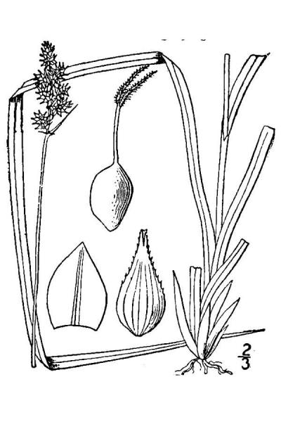 Carex arcta line drawing Britton, N.L., and A. Brown (1913); downloaded from USDA-Plants Database