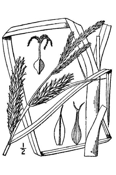 Carex atherodes line drawing Britton, N.L., and A. Brown (1913); downloaded from USDA-Plants Database.