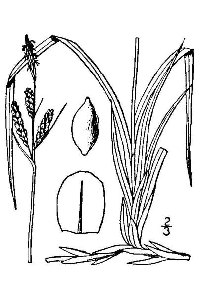 Carex bigelowii line drawing Britton, N.L., and A. Brown (1913); downloaded from USDA-Plants Database.