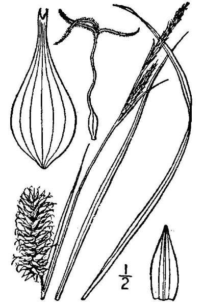 Carex bullata line drawing Britton, N.L., and A. Brown (1913); downloaded from USDA-Plants Database.