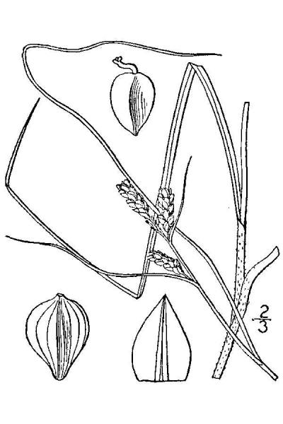 Carex caroliniana line drawing Britton, N.L., and A. Brown (1913); downloaded from USDA-Plants Database.
