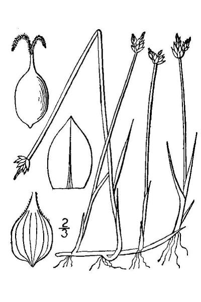 Carex chordorrhiza line drawing Britton, N.L., and A. Brown (1913); downloaded from USDA-Plants Database.