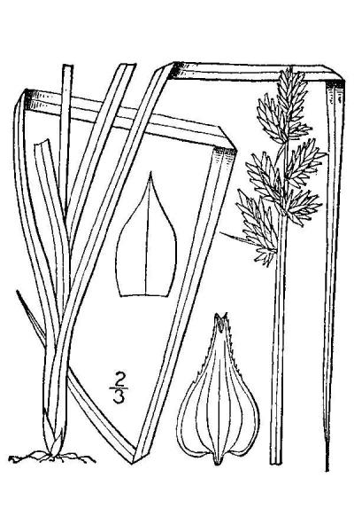 Carex conjuncta line drawing Britton, N.L., and A. Brown (1913); downloaded from USDA-Plants Database.
