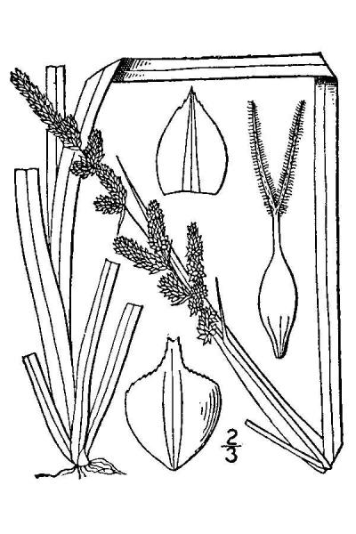 Carex decomposita line drawing Britton, N.L., and A. Brown (1913); downloaded from USDA-Plants Database.