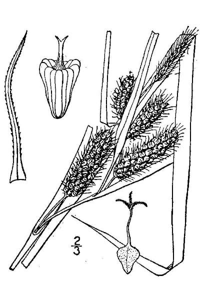 Carex frankii line drawing Britton, N.L., and A. Brown (1913); downloaded from USDA-Plants Database.
