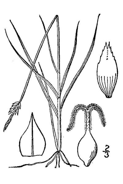 Carex gynocrates line drawing Britton, N.L., and A. Brown (1913); downloaded from USDA-Plants Database.